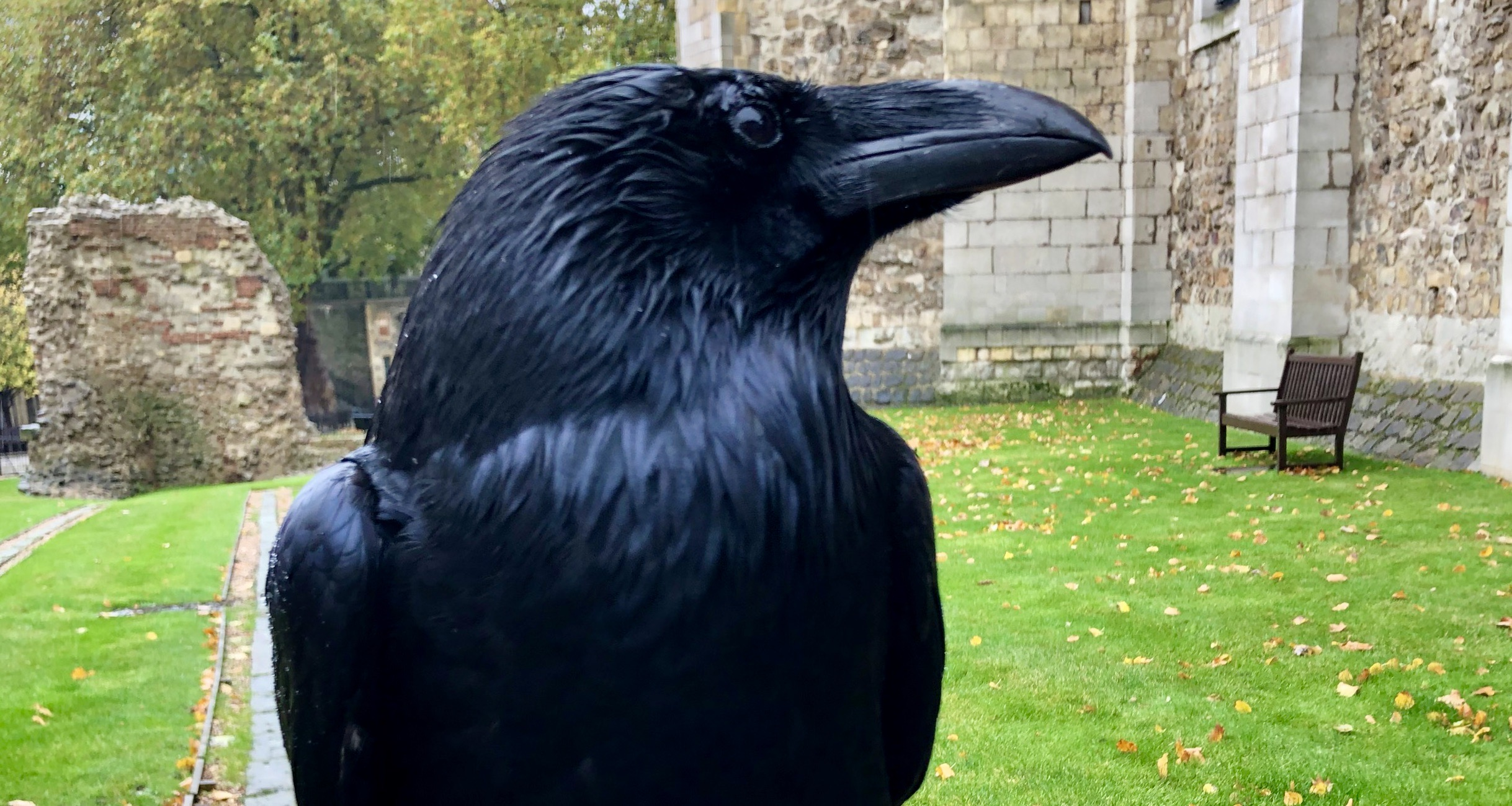 Queen raven at Tower of London 'missing and feared dead'